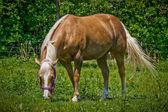 Palomino paard van het kwart — Stockfoto