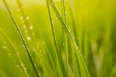 Background of green grass leaves with dewdrops  — Stock Photo
