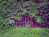 Background old wooden fence overgrown with green ivy leaves — Stock Photo