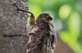 Cicada on wall close up — Stock Photo