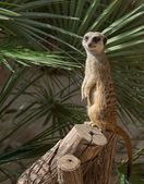 Suricata in a zoo of Barcelona on a tree — Stock Photo