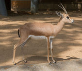 Pouštní gazela dorkas v zoo barcelona, španělsko — Stock fotografie
