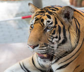 Young tiger in a zoo in the landscape tropical park of Nong Nuch in Pattaya, Thailand — Stock Photo