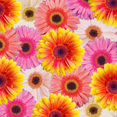 Gerbera background — Stock Photo