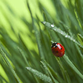 Ladybird on grass — Foto de Stock
