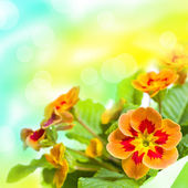 Primrose flower bouquet — Stock Photo