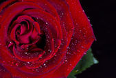 Water drops on rose flower — Stock Photo