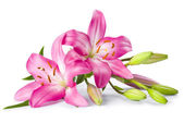 Pink lily flower isolated on white — Stock Photo