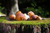 Boletus mushroom in the forest — Stock Photo