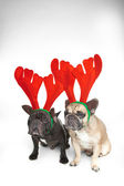 French bulldogs with reindeer horns — Stock Photo