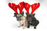 French bulldogs with reindeer horns — Stok fotoğraf