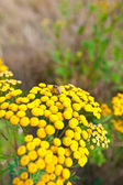 Flower (Tanacetum vulgare) with a bee — Stock Photo