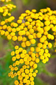 Flower (Tanacetum vulgare) — Stock Photo