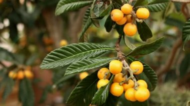 Collecting Loquats 02 — Stock Video