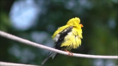 American Goldfinch — Stock Video