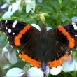 Red Admiral Butterfly flowers — Stock Video #51078499