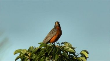 Robin songbird sings — Stock Video