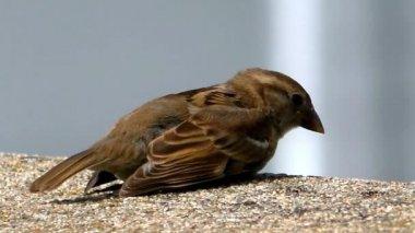 Sparrow songbird sings — Stock Video