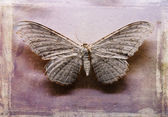 Thysania Agrippina moth. — Stock Photo