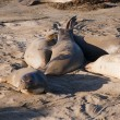 Elephant seals on a beach on the big Sur in California USA — Stock Photo #49487139