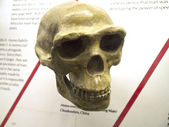 Model Skull of ancestor of Modern Man Homo Erectus — Stock Photo