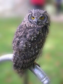 Eagle owl in County Show in England — Stock Photo