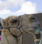 Camel Train on the Island of Lanzarote in the Canary Islands — Stock Photo