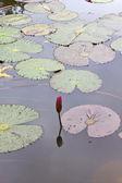 Baby lotus — Stock Photo