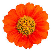 The orange flower — Stock Photo