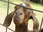 Close-up portrait of goat through fence — Stock Photo