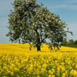Isolated tree in rape field — Stock Photo #49289925