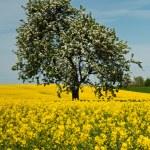 Isolated tree in rape field — Stock Photo #49289925