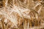 Champ de blé — Photo