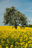 Isolated tree in rape field — Stock Photo