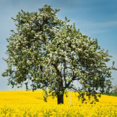 Isolated tree in rapeseed field — Stock Photo