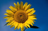 Sunflower — Stok fotoğraf