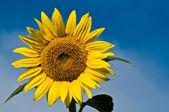 Sunflower — Foto Stock