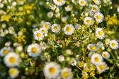Little ladybug among the flowers and herbs — Stock Photo