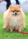 Cute pet, pomeranian grooming dog sitting on green grass at home — Stok fotoğraf