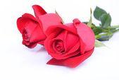 červená růže izolovaných na bílém pozadí — Stock fotografie
