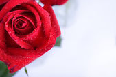 Red rose flower isolated on white background, water dew drop on  — Stockfoto
