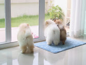 Three pomeranian puppy dogs in home looking for the owner — Stock Photo