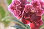 Purple orchid flowers in garden — Stock Photo