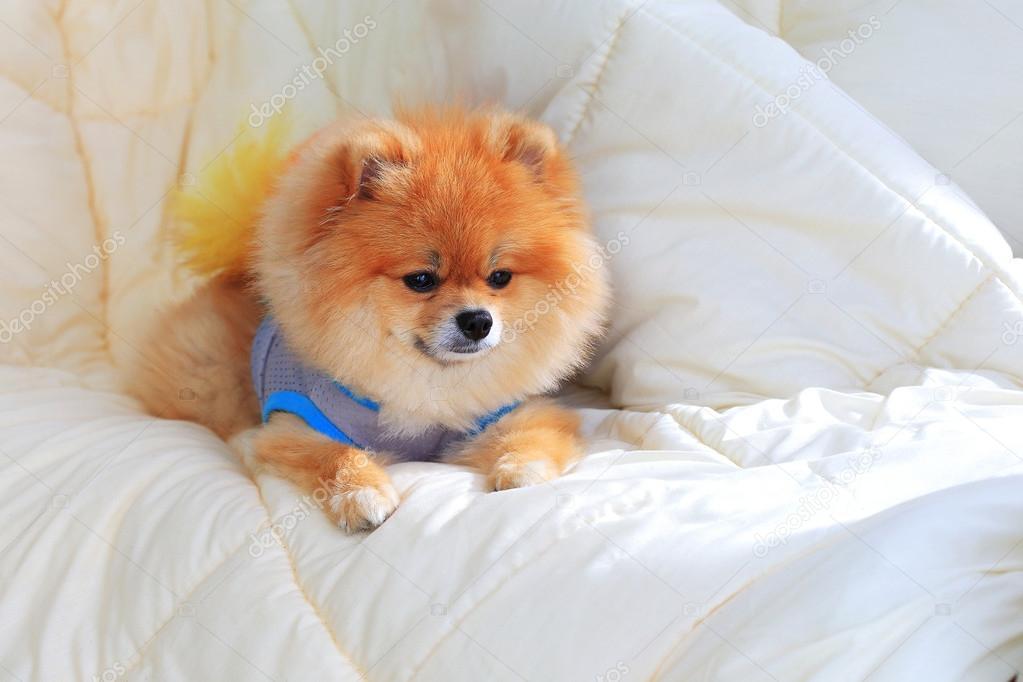 狗可爱宠物在房子里,博美犬美容床上穿的衣服
