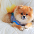 Cute pet in house, pomeranian grooming dog wear clothes — Stock Photo #50199663