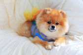 Cute pet in house, pomeranian grooming dog wear clothes — Stock Photo