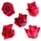 Czerwona róża na białym tle — Zdjęcie stockowe