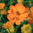 Beautiful orange flowers in green field garden — Stock Photo #50391319