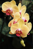 Yellow orchid flowers in garden — Stock Photo