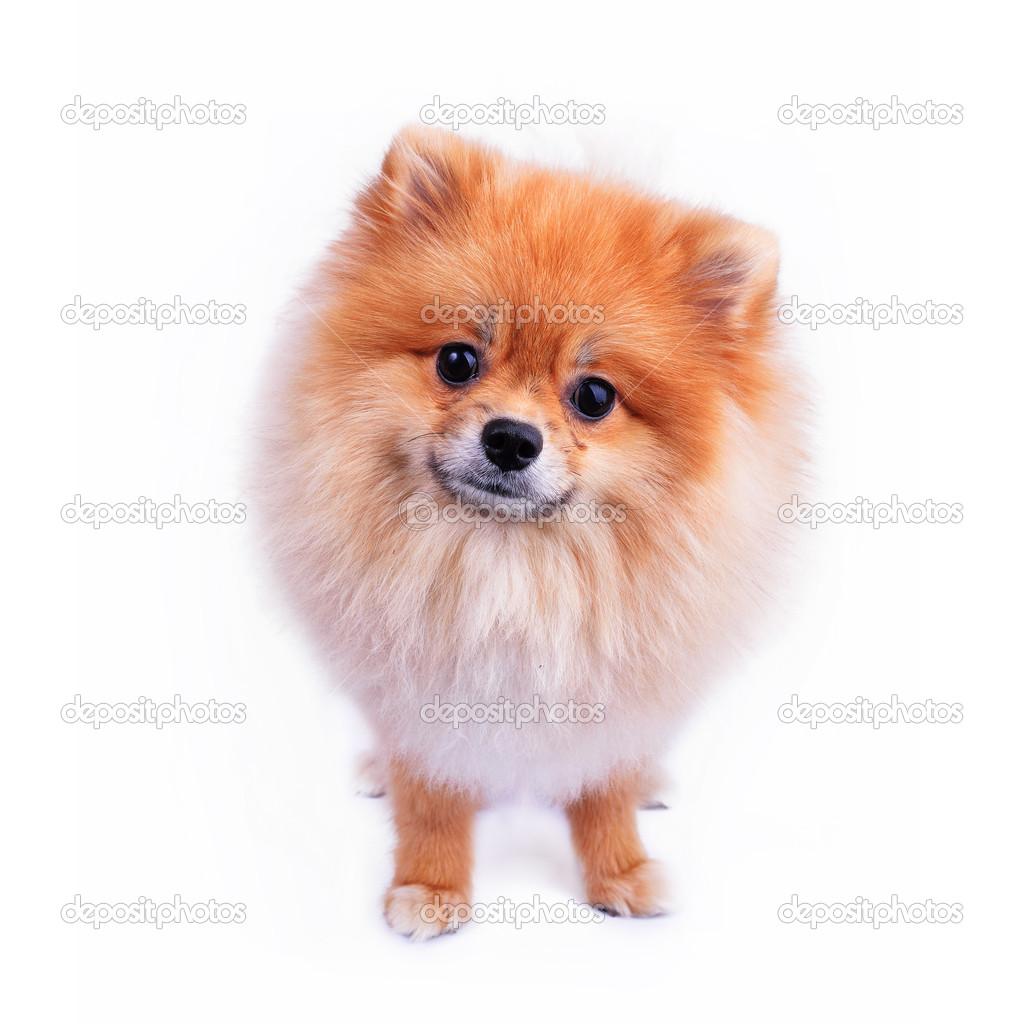 Cute Pomeranian Dog Names Digitalspace Info